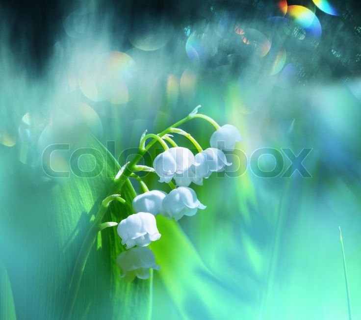 Stock image of 'Lilly of the valley'