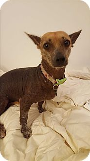 Xoloitzcuintle/Mexican Hairless Dog for adoption in Los Angeles, California - Josephine