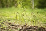 How to Plant Asparagus Roots in Michigan | eHow