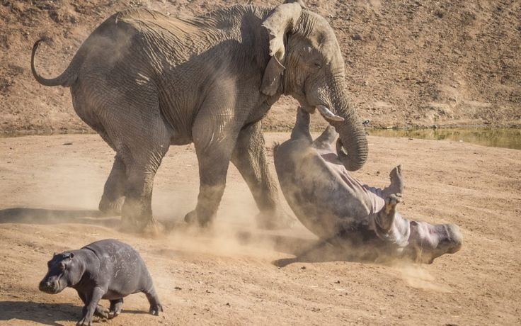 Rian Van Schalkwyk passou férias com a família na reserva Erindi, na Namíbia, e viu este ataque de elefante a um hipopótamo. A mãe foi salvar seu filhote do ataque do elefante enfurecido e na briga acabou sendo virada de ponta cabeça enquanto o filho fugia. Ela saiu sem grandes ferimentos