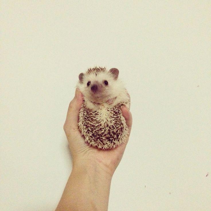 My rock #pet #hedgie #hedgehog