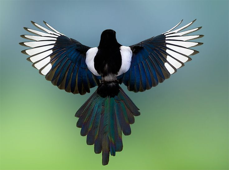 77 best Magpie images on Pinterest Magpie Beautiful birds and Birds