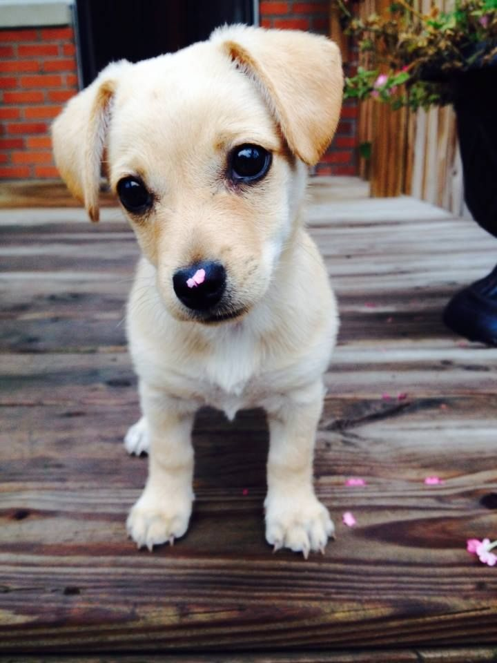 But I'd rather eat your flowers ma! Chihuahua Terrier Mix Puppy, named Roo