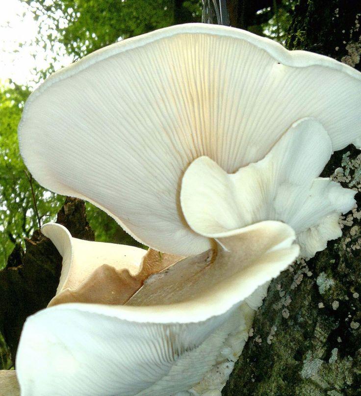 beautiful Mushrooms | Oyster mushroom – Edibility, Identification, Distribution ...
