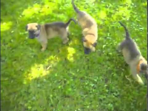 Video of a cute Belgian Malinois puppy for sale. Malinois Puppies--Retired K-9 Handler