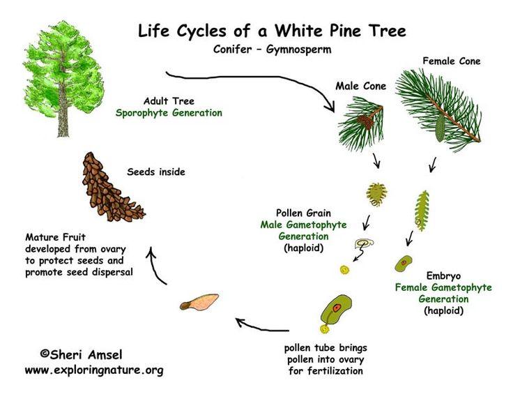 Image 1: An example of a <b>life</b> <b>cycle</b> of a gymnosperm plant