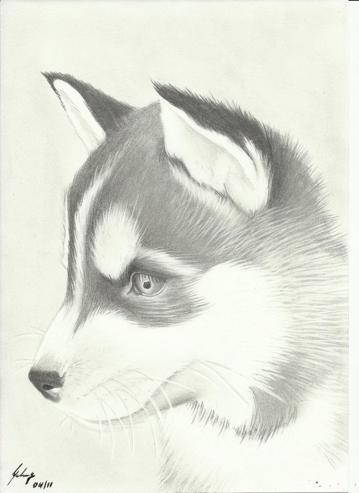 Cute Husky Drawing Amazing Wallpapers - Resimkoy ... Cute Husky Puppy Drawings