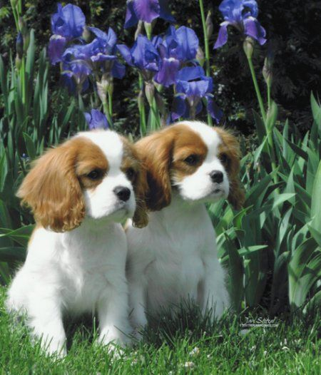 Cavalier King Charles Spaniels They look so much alike, they could be twins! They are beautiful.