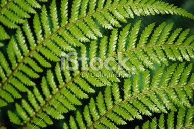 Punga Fern Frond Royalty Free Stock Photo