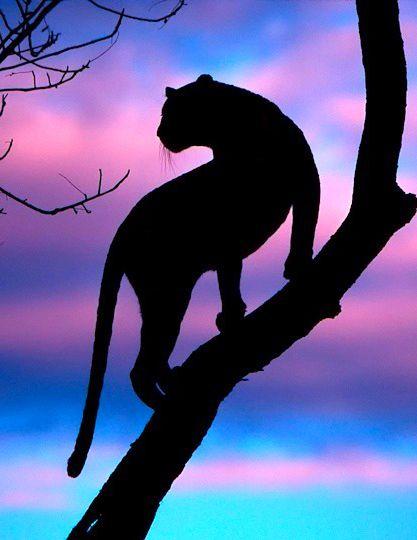 Silhouette~  http://www.earthshots.org/2012/07/leopard-silhouette-by-andrew-schoeman/  leopard