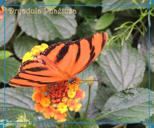 Mémoires Visuelles: Le Papillon tigré. http://evasionqc.blogspot.ca/2013/03/le-papillon-tigre.html