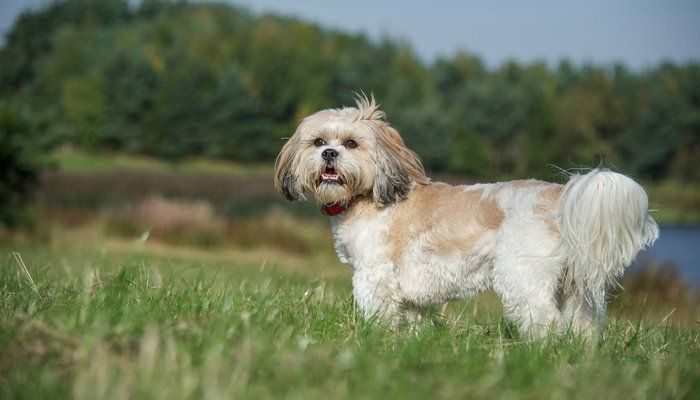 35 Non Shedding Dog Breeds Ranked In Order With Images Non Shedding Dog Breeds Dog Shedding Non Shedding Dogs