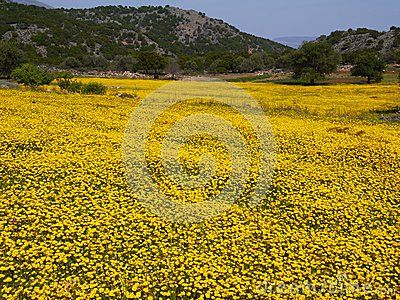 The field of yellow spring flowers,Crete,Greece