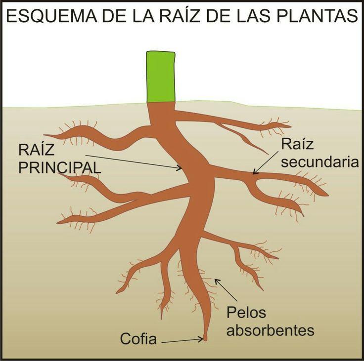 Esquema da raíz das plantas