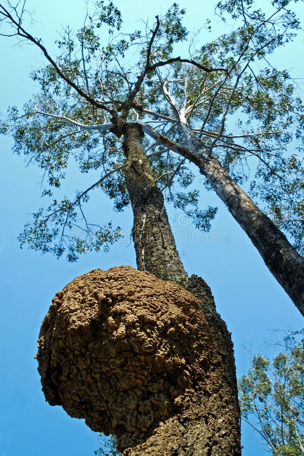 White Ant Nest Looking Up From The White Ant Nest In A Eucalypt Tree Queenslan Affiliate Nest White White An White Ant Ants Stock Photography Free