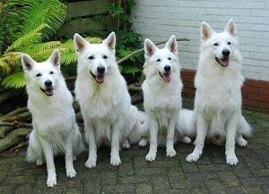 White Swiss Shepherd Dog. Aka MimiFest!