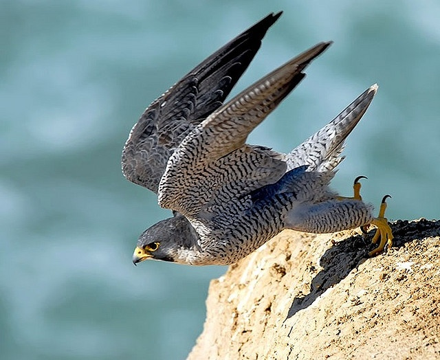 Peregrine Falcon--in a stoop (dive) can reach speeds up to 200 mph.