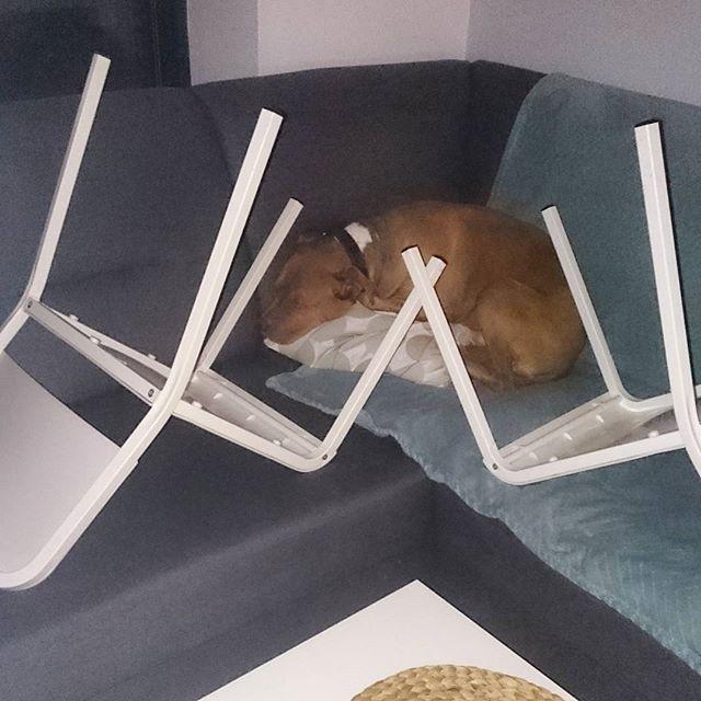 Zasieki prawie działają....       ____________________________________  #pitbull #pitbullsofinstagram #dontbullymybreed #dog #pit #rednose #pitbulllove #bully #dogs #pitbulls #dogsofinstagram #pitbulladvocate #bullybreed #pitty #rescue #apbt #pitlove #adopt #bestfriend #pitbulllover #pitbullinstagram #pies #pieseł #relax #przyborówko #adoptujniekupuj #concretus #pies #funny