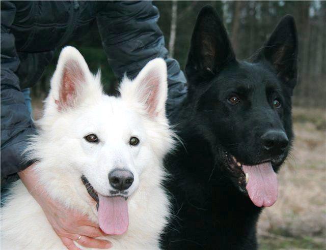 белая и черная овчарки: 18 тыс изображений найдено в Яндекс.Картинках