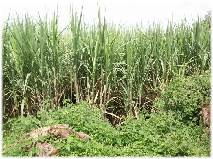 Sugarcane plantation in Akluj