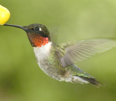 We have many ruby throated hummingbirds that we feed in the summer.