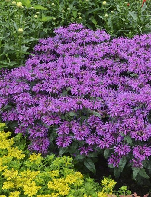 Tuck this early blooming bee balm into the front of your flower border to create a colorful swath of magenta purple flowers. Butterflies and hummingbirds adore Leading Lady Plum monarda! Hardy to zone 4 too.