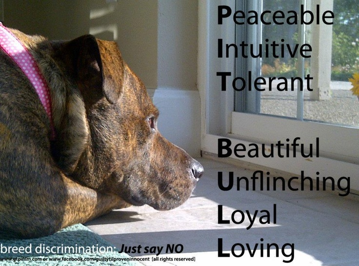 the definition of 'pit bull'.