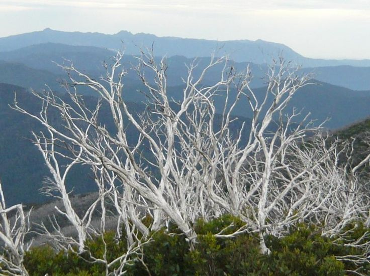 Hiking in Victoria's High Country | Hedonistic Hiking - The stunning snow gums