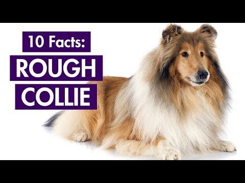 Pin On Dogs Rough Collie