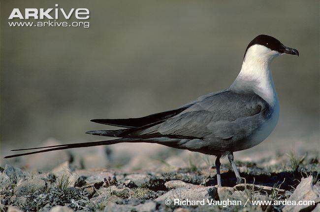 Long-tailed jaeger photo - Stercorarius longicaudus - G93317 | ARKive