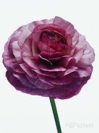 Image result for purple ranunculus