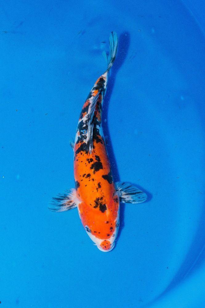 9 Doitsu Sanke Koi Fish Standard Fin Free Shipping Live Pond Fish Koi Fish Koi Fish Pet