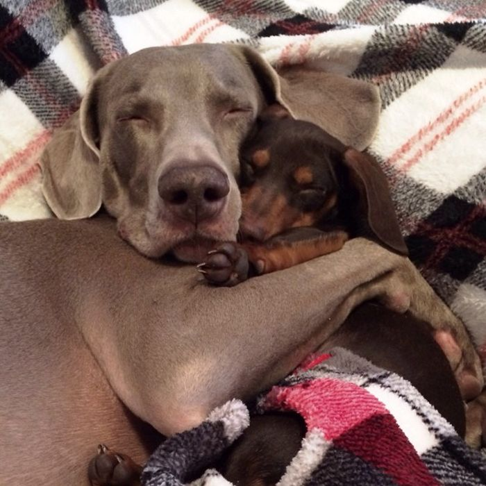 """""""Harlow and Sage were inseparable. They did everything together: watched television, had parties, celebrated holidays, snuggled and slept together. Harlow's best friend Sage died in September 2013. Harlow was heartbroken, then came a little dachshund named Indiana."""" --- Click to read the story and see more pics. Too sweet for words!"""