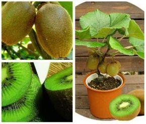 İlk fırsatta deneyeceğim. Çok lezzetli bir meyve. Nasıl yetiştiğini çok merak ettim ve ufak bir araştırma yaptım. Kiviyi birçok şeyde kullanabilirsiniz. Ta