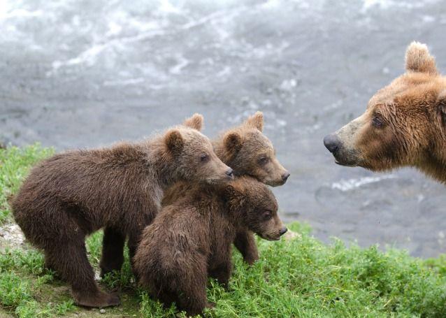 Cachorros de oso marrón de Alaska de pie cerca del agua en Brooks Falls en el Parque Nacional de Katmai, Alaska.