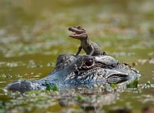 Sono tornati alla vita in libertà 19 cuccioli di coccodrillo di una specie in pericolo d'estinzione, i coccodrilli siamesi. Sono stati liberati nelle zone umide del Laos, secondo quando riportato dalla Wildlife Conservation Society (WCS).