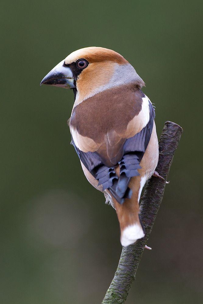 Hawfinch by Tom Kruissink