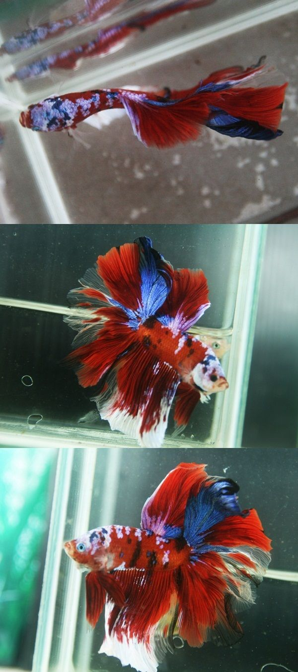 1000 images about aquarium on pinterest for Lifespan of a betta fish in captivity
