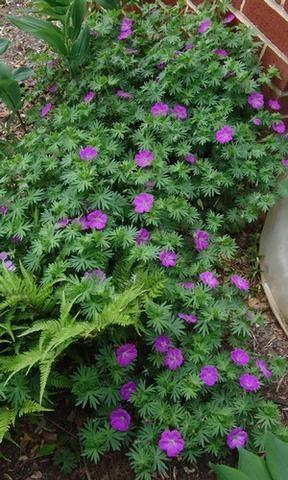 Geranium 'Dilys' - Cranesbill Geranium - Streambank Gardens  - 2