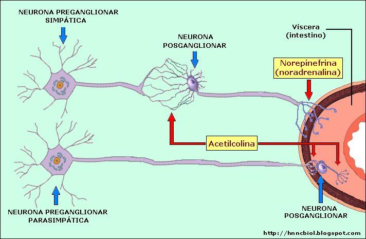 CIENCIAS BIOLOGICAS: ANATOMIA Y FISIOLOGIA DEL SISTEMA NERVIOSO AUTONOMO                                                                                                                                                                                 Más