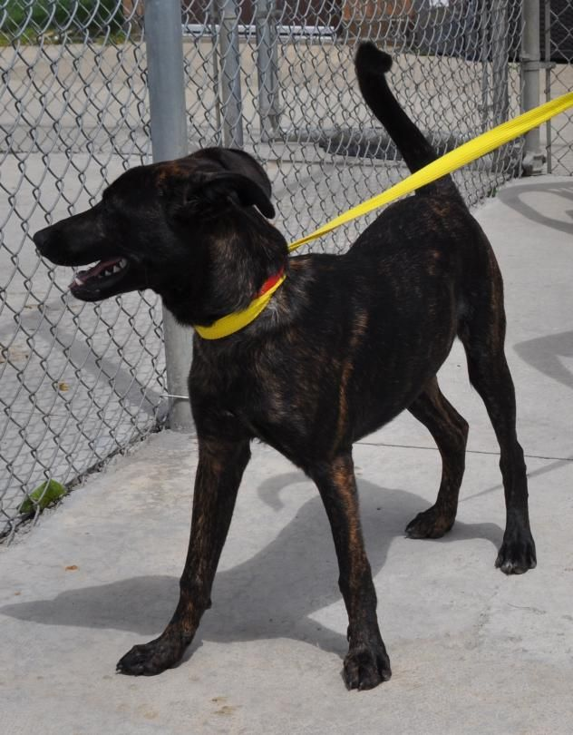 ADOPTED   10 Leepo Dog • Shepherd • Young • Male • Medium Stark County Dog Warden Department Canton, OH Available for adoption on 8/2. Just a baby! Less than a year old  and loads of puppy energy. Pretty brindle coat.
