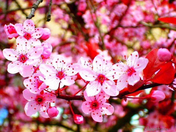 Gambar  Bunga  Sakura Selingkaran Bunga  sakura Gambar