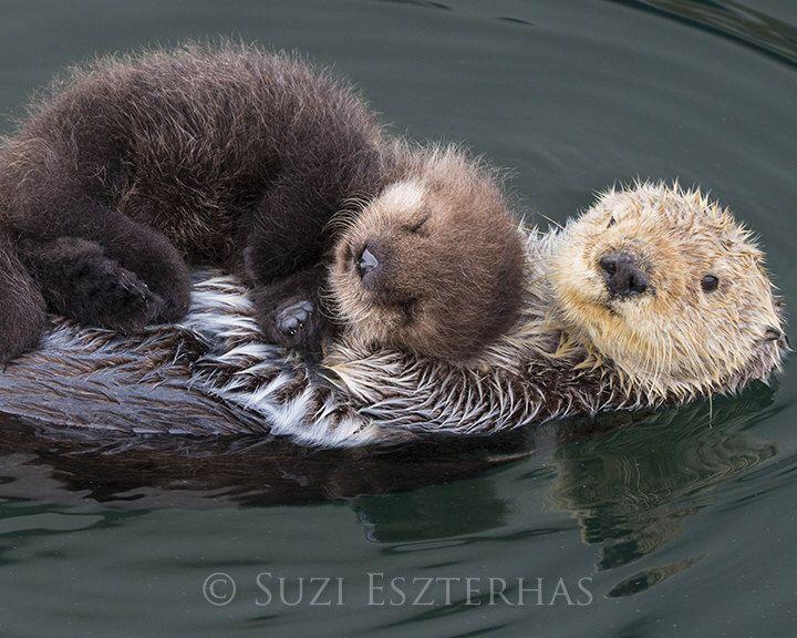 BABY SEA OTTER and Mom Photo, Baby Animal Nursery Art Print, Animal Nursery Decor, Baby Animal Photo