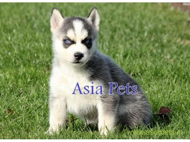 Siberian Husky Puppy For Sale In Vizag At Best Price Husky