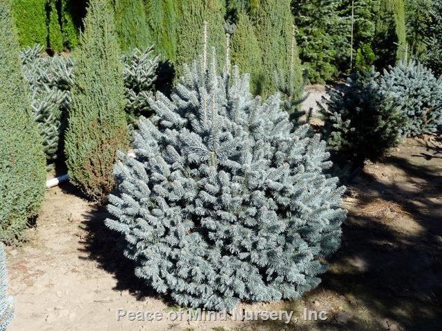 Abies Lasiocarpa Var Arizonica Glauca Nana Whole Nursery Supplies Plant Growers In Oregon Guide Fir Pinterest