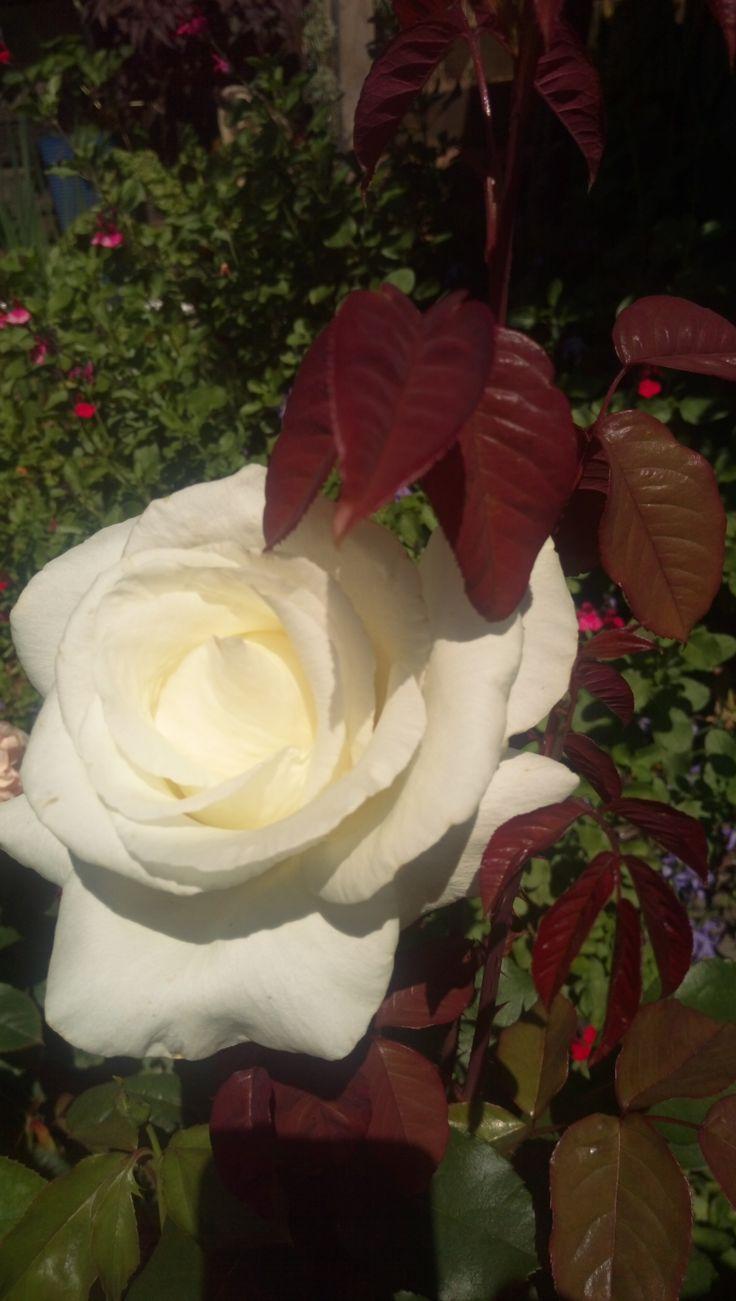 Rose 'Mount Shasta'