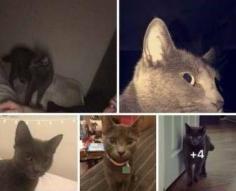 LOST CAT: 06/03/2018 - Corringham, Thurrock, Essex, England, United Kingdom. Ref#: L42064 - #CritterAlert #LostPet #LostCat #MissingCat