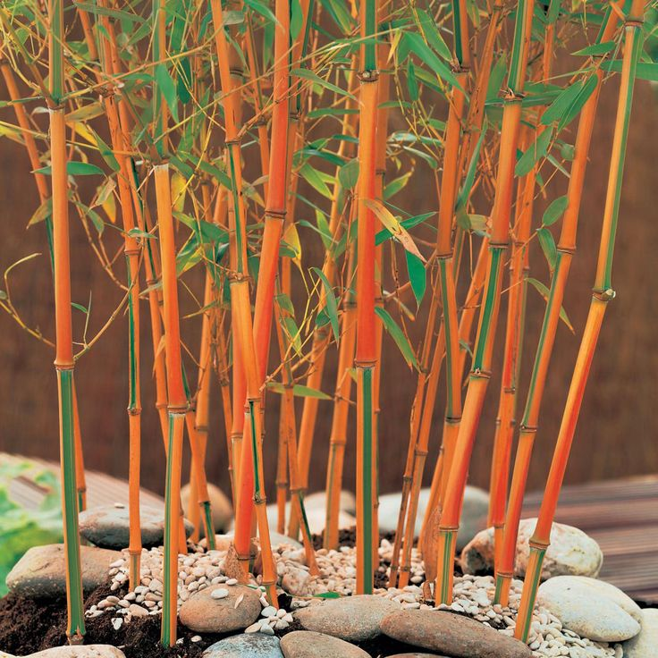 Best 25 Bamboo plants ideas on Pinterest Bamboo garden Growing