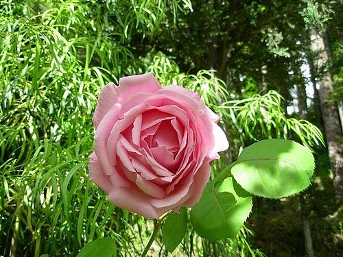 Aromática Rosa