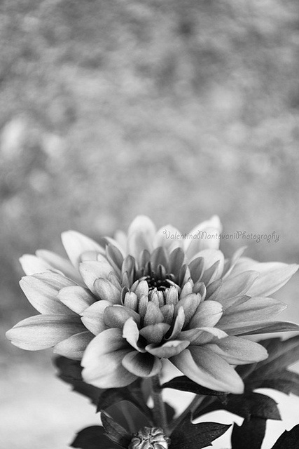 21 best Blumen schwarz/weiß images on Pinterest | Blumen, Schwarzer ...